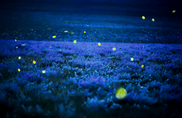 Fireflies in Raleigh