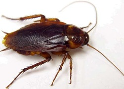 raleigh pest control roaches