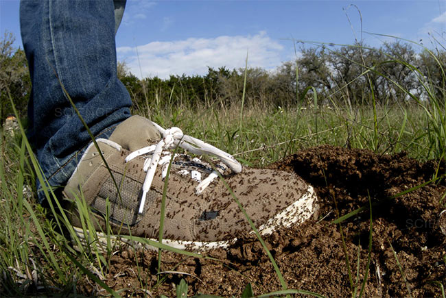 The Dreaded Red Imported Fire Ant Stomp Pest Control