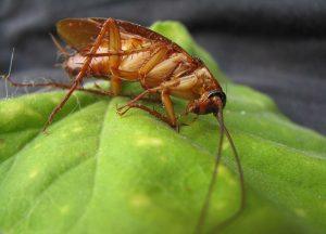 Cockroach Exterminator Raleigh