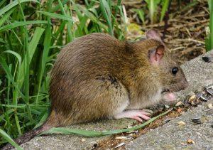 raleigh rodent extermination