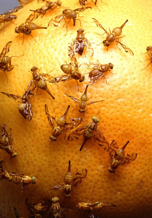 How To Get Rid Of Fruit Flies Raleigh Pest Control