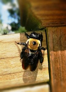 Raleigh pest control preventing carpenter bees