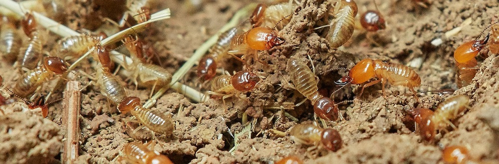 Raleigh termite control