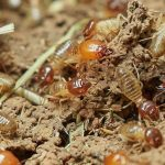 Termite Control in Raleigh
