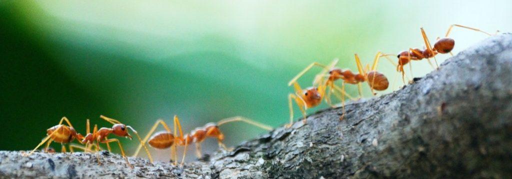 Ant pest control in Apex