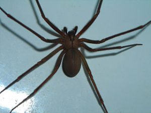 brown-recluse-control-apex