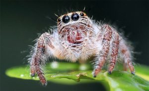 apex-jumping-spider-control