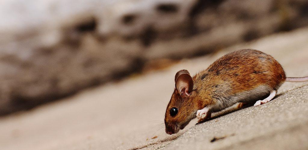 rodent-control-apex-nc
