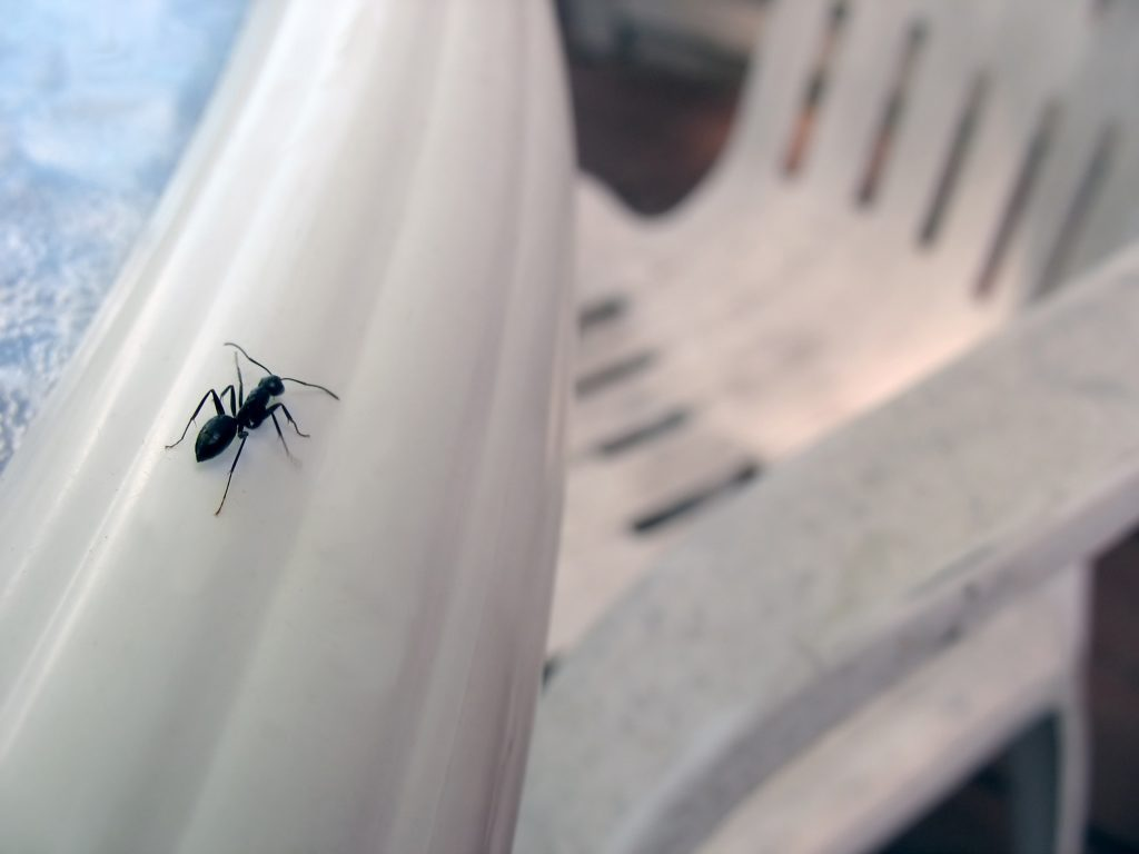Carpenter-ant-extermination-raleigh