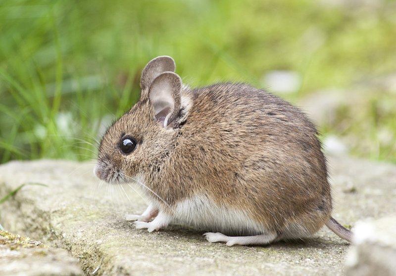 rodent-control-fuquay-varina