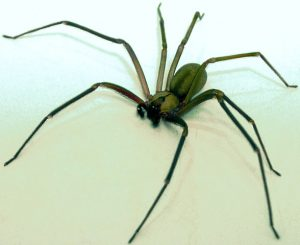 Brown Recluse Spider in Raleigh