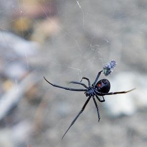 Black Widow Spider in Raleigh