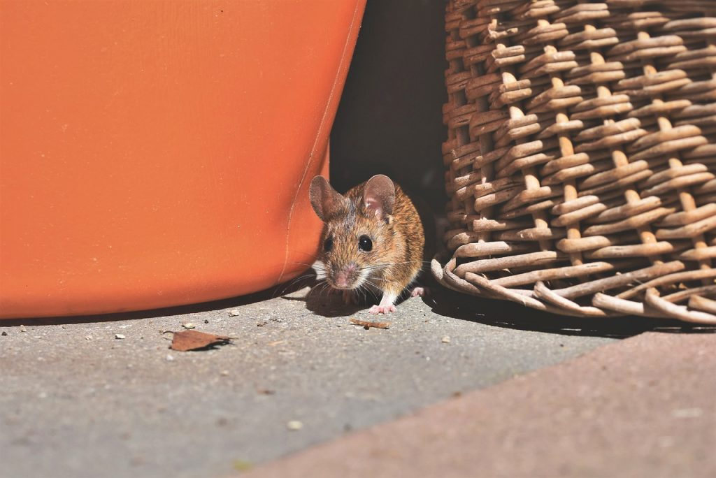 rodent control willow springs