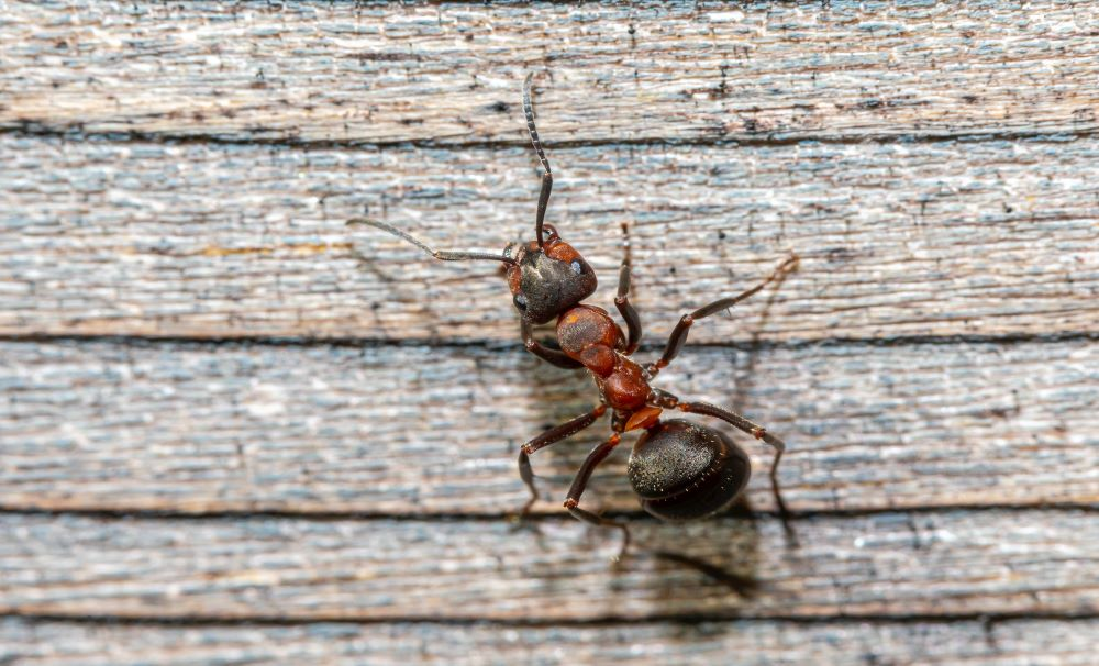 Ants Control in triangle area