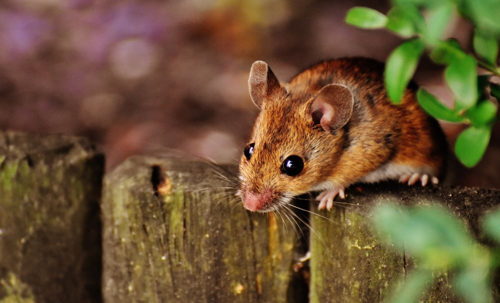 Rat and Mouse control in Raleigh